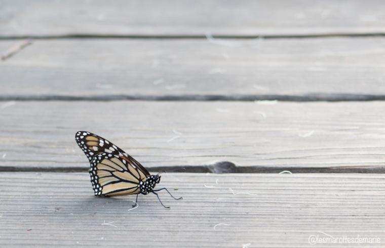 2017 10 30-Monarch butterflies 2jpg