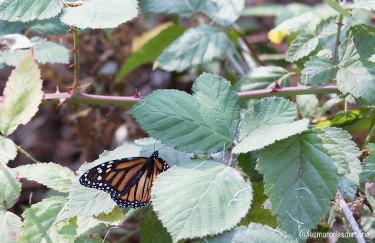 2017 10 30-Monarch butterflies 3