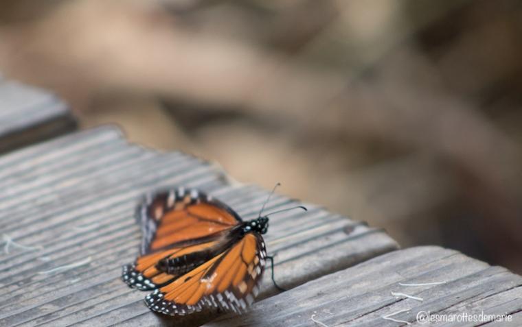 2017 10 30-Monarch butterflies 4